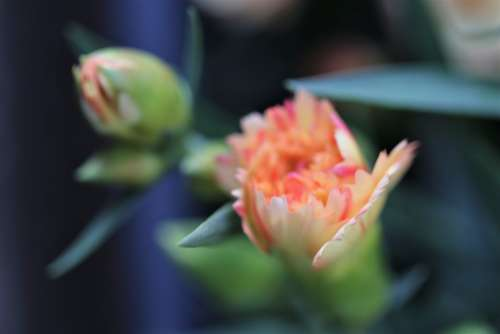 Yellow Pink Carnation Buds Flower Blooming Morning