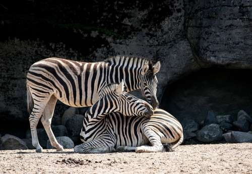 Zebra Mammal Animal Animal World Nature Stripes