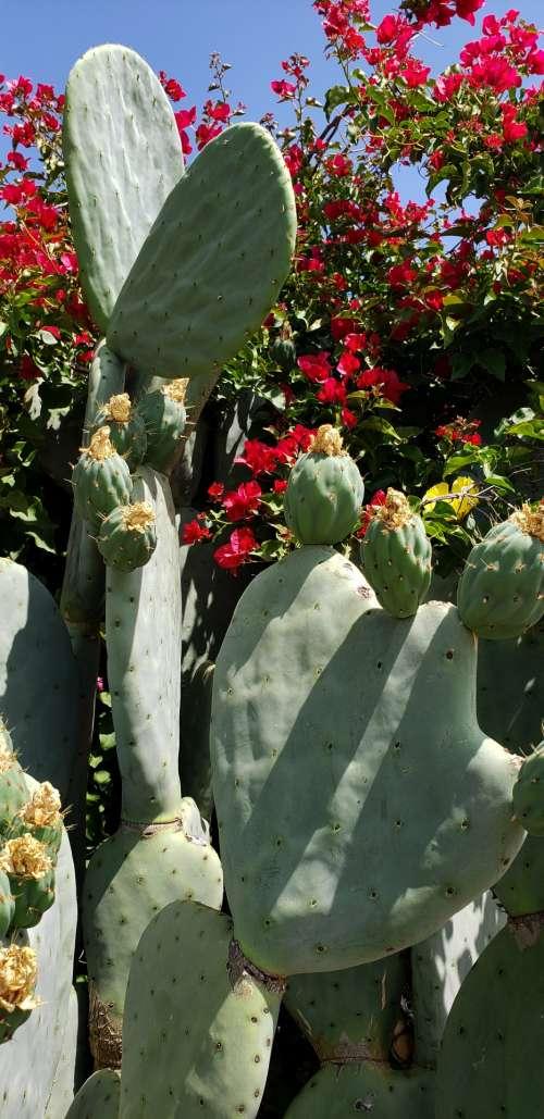 Bougainvillea And Cactus