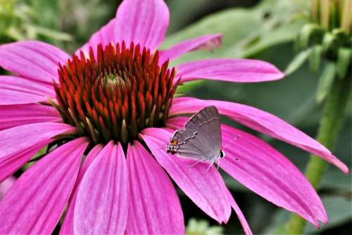 Gray Hairstreak On Pink Flower