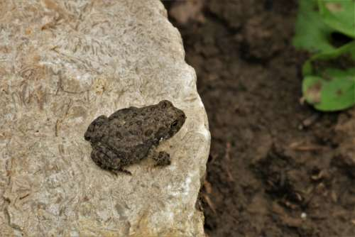 Tiny Tree Frog On Rock