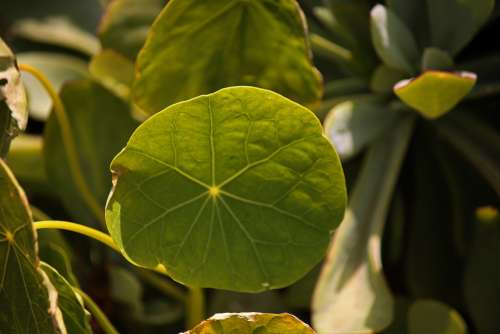 Veining On Round Nasturtium Leaf