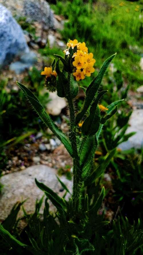 Yellow Musk Wildflower