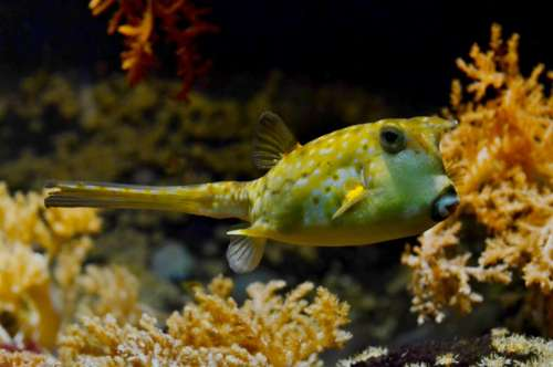 pufferfish blowfish bubblefish under water sea