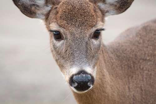 deer animal cute fawn fur