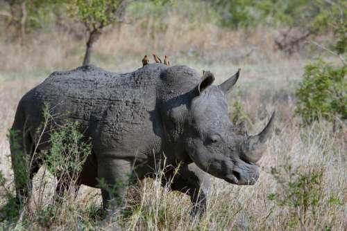 rhinoceros animal wildlife nature landscape