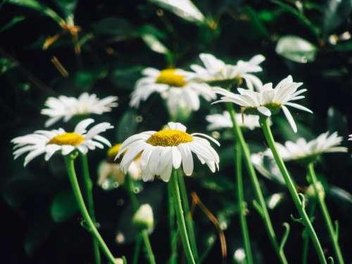 daisy daisies flowers garden nature