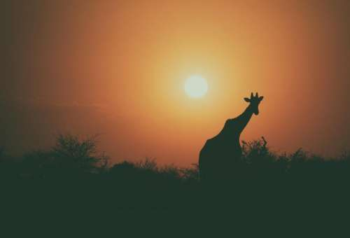 giraffe animal wildlife tree plant
