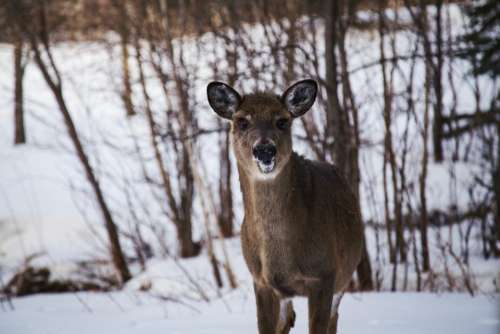 deer animal wildlife forest snow