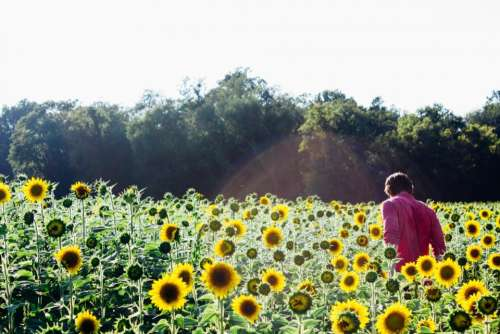 sunflowers garden plants green nature