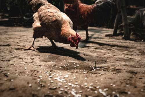 bird chicken hen roaster poultry