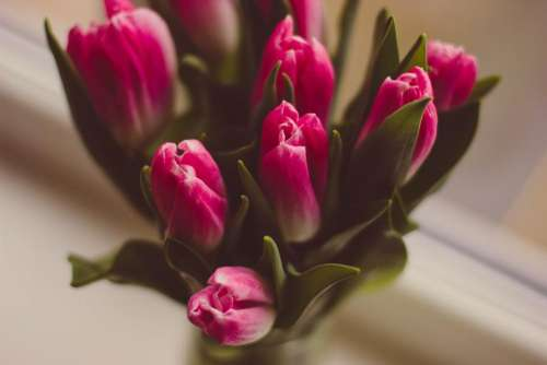 tulip pink petal flower plant