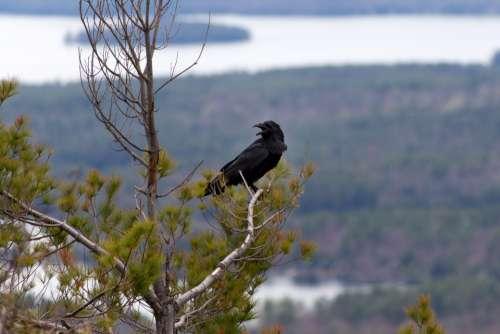 crow tree animal bird crowing