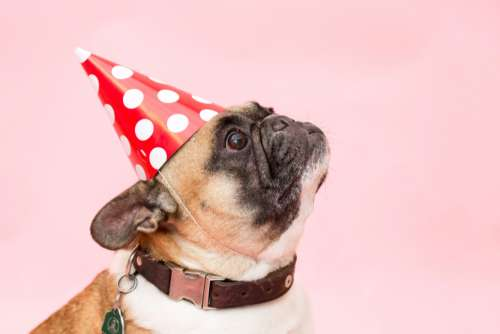 dog pug party had animal