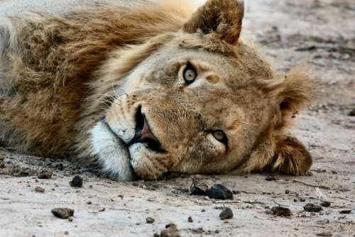 animals feline lion wildlife whiskers