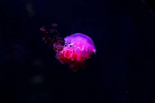 jellyfish underwater deep sea ocean
