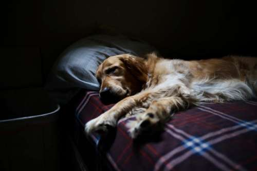 dog golden retriever animal bed sleeping