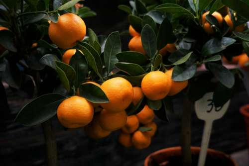 nature plants fruits shrubs citrus