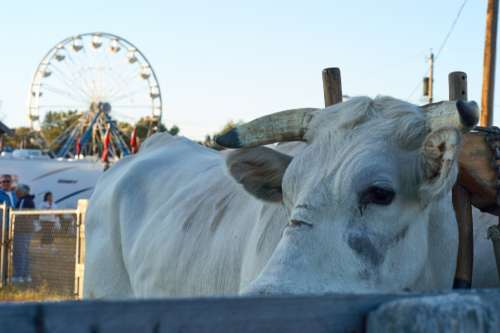 cow animal fair cattle bull