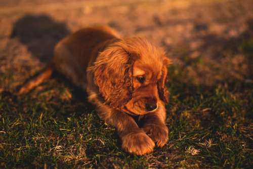animals dogs puppies domesticated cute