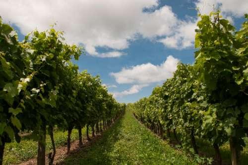 grapevines grapes fields green grass