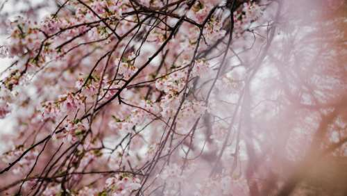 pink blossom trees plant nature