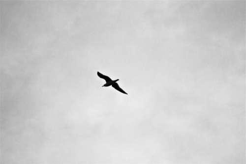 bird flying sky black and white