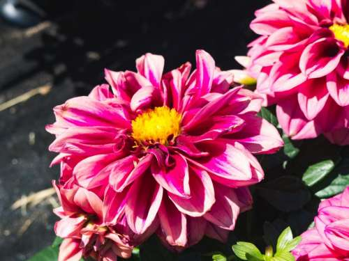 pink flower petals bloom leaves