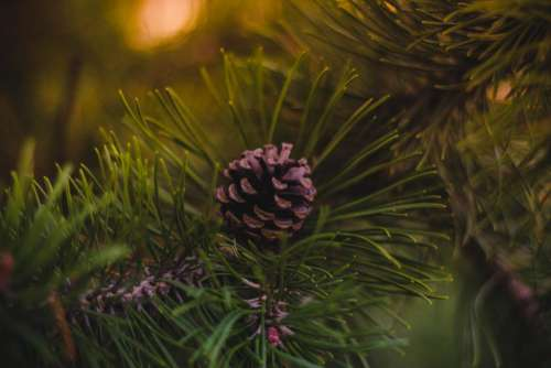 pine cone green tree plant