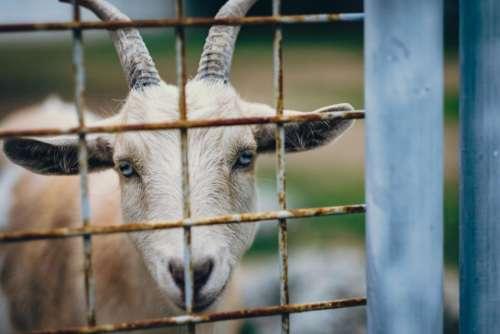 goat horn animal gate farm