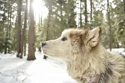 animals dog wolf adorable gorgeous