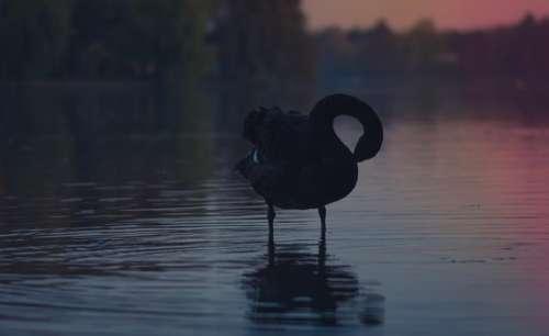 water bird animal dark reflection
