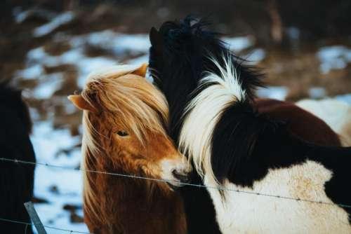 horses animals hair mane barb wire