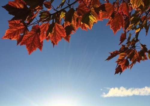 maple leaf leaves trees nature autumn