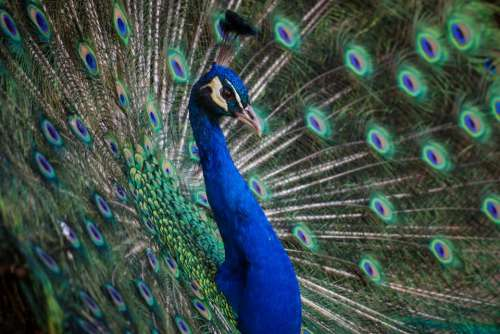 peafowl peacock blue feather bird