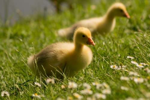 chicks ducks birds animals grass