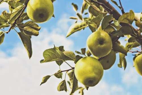 green apples trees leaves sky