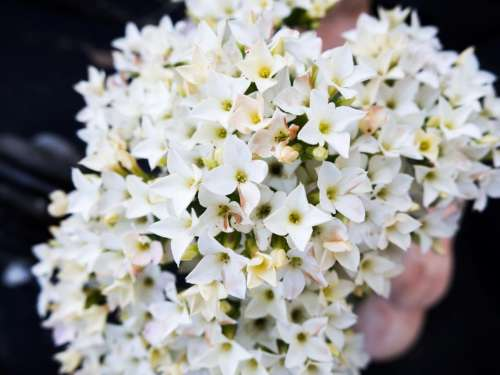 white flowers blossoms nature