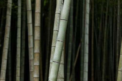 bamboo tree nature plant