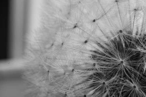 dandelion flower plant nature black and white