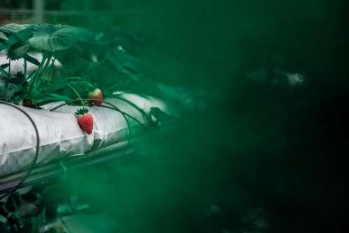 food fruits strawberries farm plants