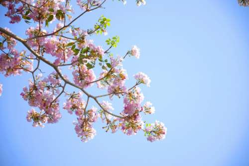 flowers nature pink blossoms spring