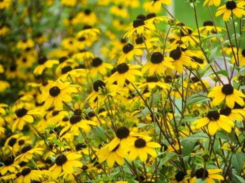 yellow sunflowers garden