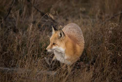 grass fox animal wildlife