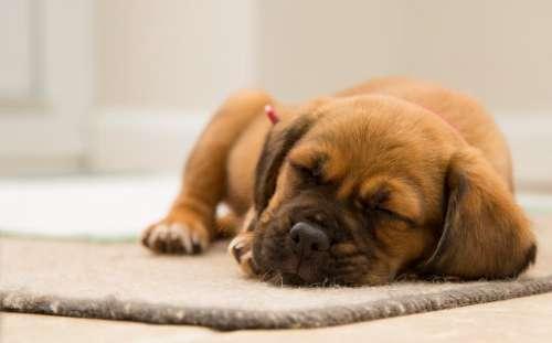 brown puppy dog animal pet