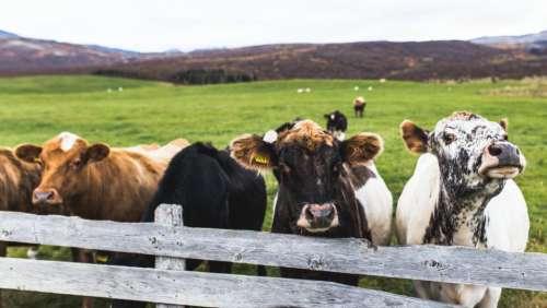 cow cattle animal farm field