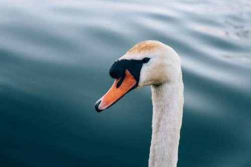 white duck swan bird animal