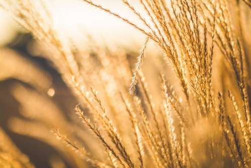 wheat plants agriculture farm field