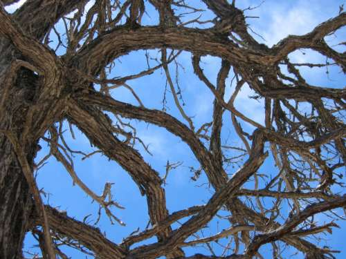 pine tree branches sky weathered