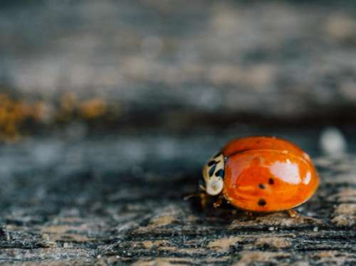 ladybug ladybird insect nature